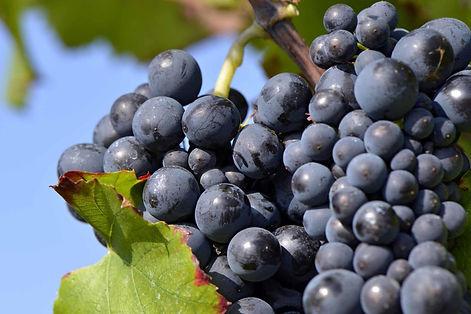 Grape_Red_2.jpg