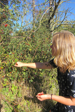 Ouch! - collecting rosehips for syrup