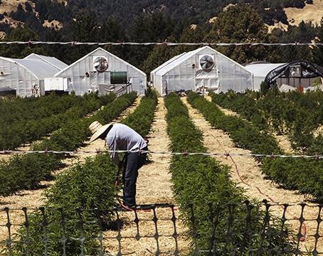 Honeydew: la comunità che da 40 anni coltiva la Cannabis