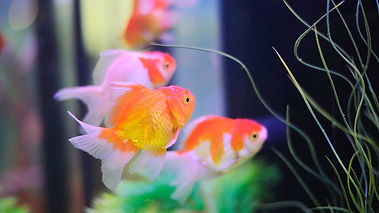9-90829_gold-fish-live-wallpaper-4-fishe