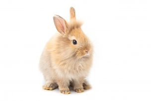 brown-adorable-baby-rabbit-white-backgro