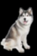 belgian-shepherd-dog-png.png