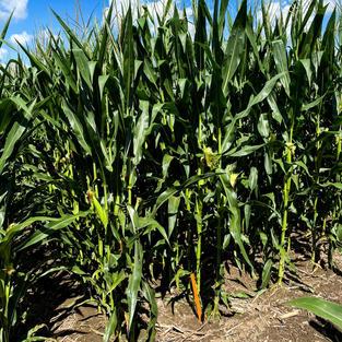 Good looking corn 2020