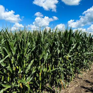 Corn test plots 2020