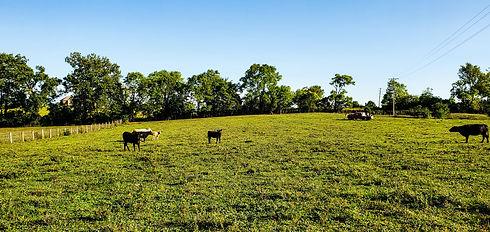 cows kentucky cattle farm