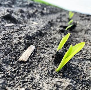 Corn Seedlings 2020