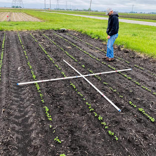 Stand counts in Long Term Tillage