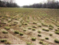 Learn how to grow Eastern Gamagrass from the Gamagrass Seed Company. This Native Grass is the best choice for cattle and can be grown in a wide range of environments. Learn how to plant gamagrass seed, maintain gamagrass stands, and manage gamagrass forage.