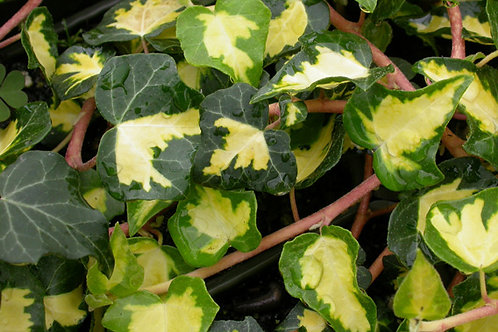 Hedera helix 'Gold Heart'