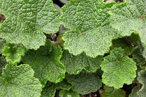 Rubus pentalobus 'Emerald Carpet'