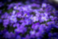 fleur,macro,violet,mauve