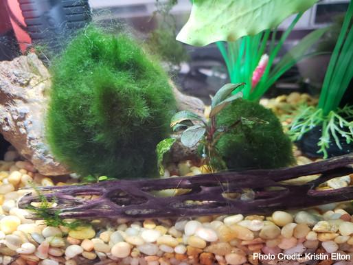 Moss Ball & Aquarium Decontamination Guidelines