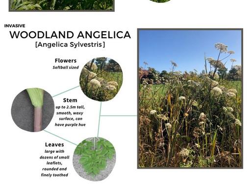 Know Your Invasives: Giant Hogweed / Connaissez vos envahisseurs : Berce du Caucase