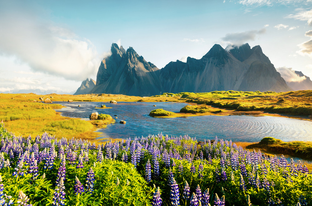 Lupine blooming in Iceland in summer months