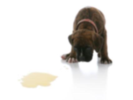 Sad Brindle Boxer Puppy Potty Accident S