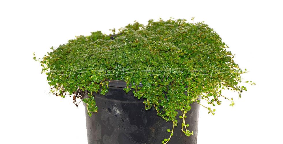 Sagine subalata 'Irish Moss'
