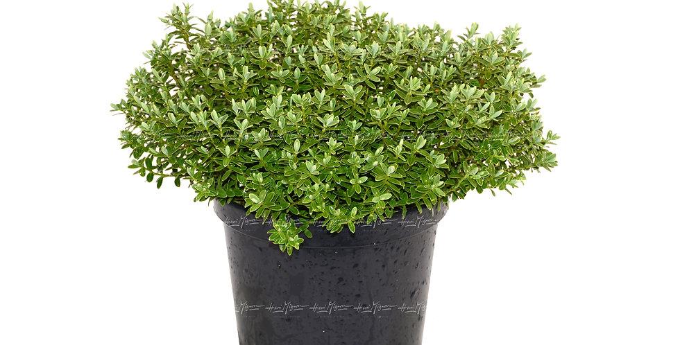 Hebe pinguifolia 'Sutherland'