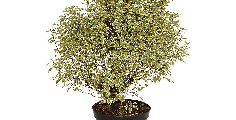Pittosporum tenuifolium 'Variegatum'
