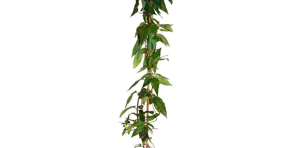 Lonicera similis 'Delavayi'