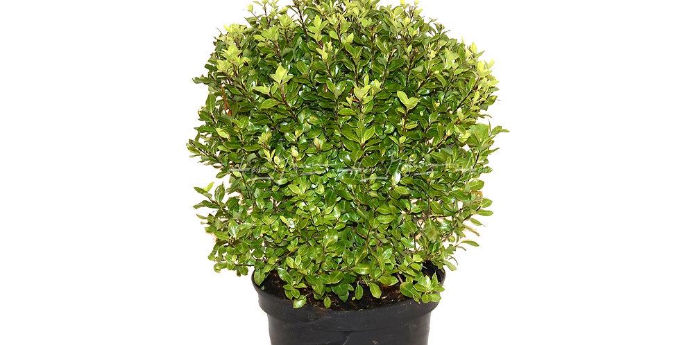 Pittosporum tenuifolium 'Midget'