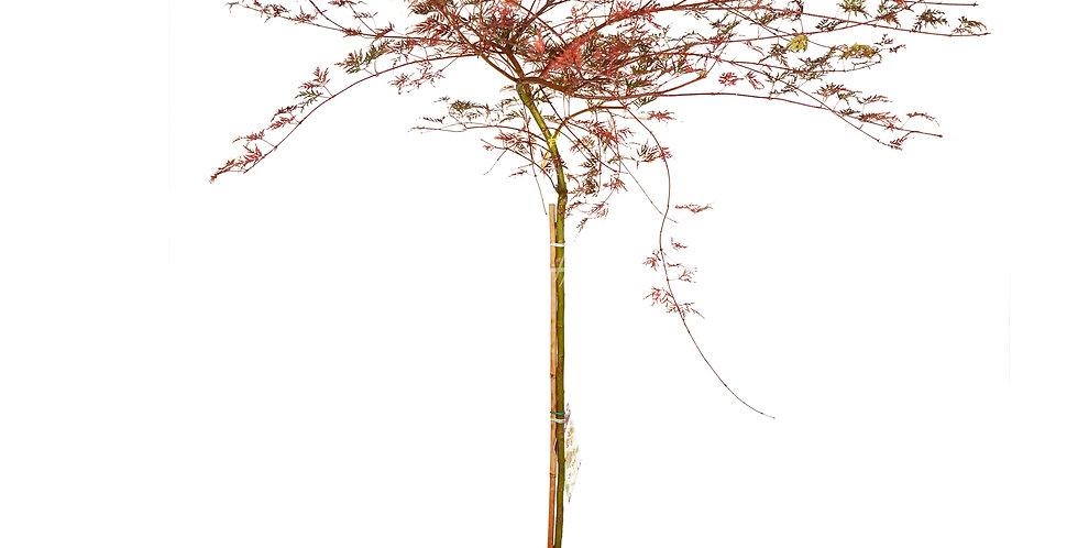 Acer dissectum 'Garnet'