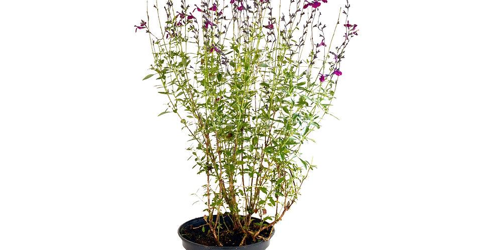 Salvia jamensis 'Violette de Loire'