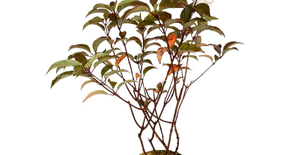 Hydrangea paniculata 'Vanille Fraise'®