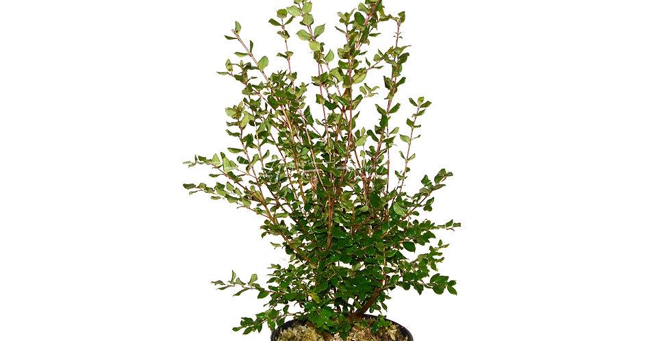 Myrthus luma