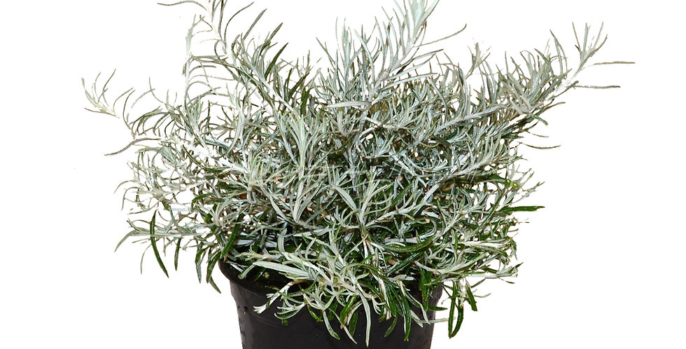 Helichrysum 'Silver Stitch'