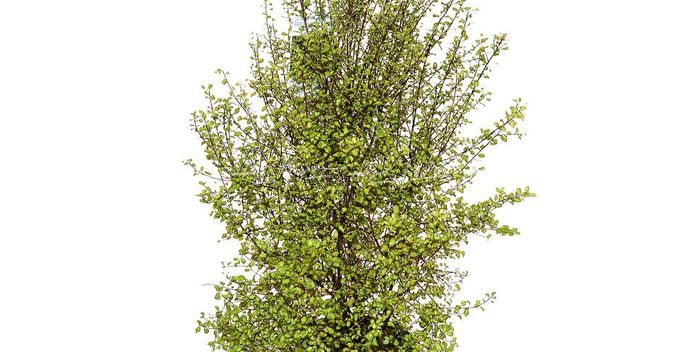 Pittosporum tenuifolium 'Donovan Gold'