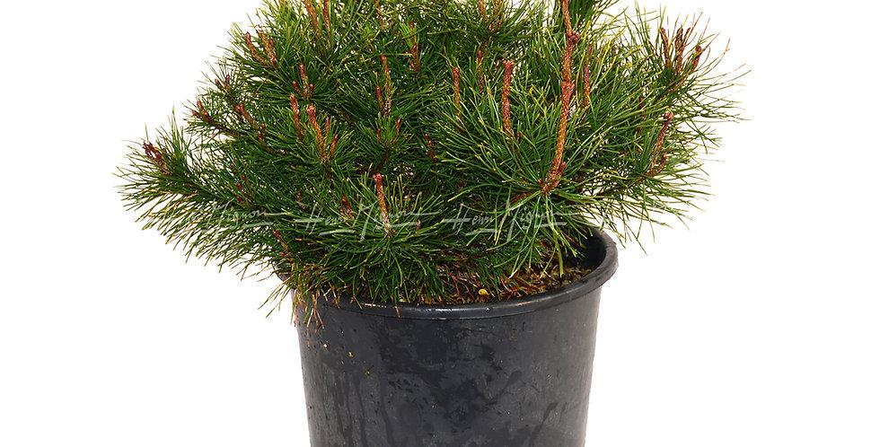 Pinus mugo 'Mughus'