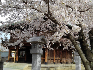 石切さんの桜もきれいですよ!