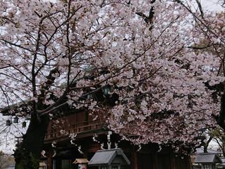 石切さんの桜🌸