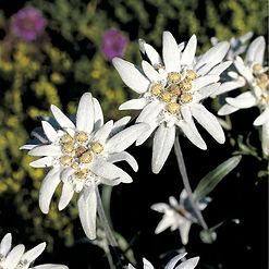 Edelweiss-201020086817.jpg