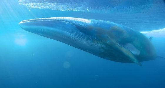Mink Whale in Antarctica filmed with Antzworks remote camera