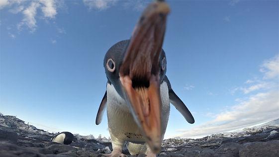 Adelie Penguin Eating Camera.jpg