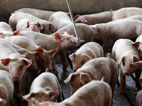 Jury Awards Neighbors of North Carolina Hog Farm $50 Million in Nuisance Case