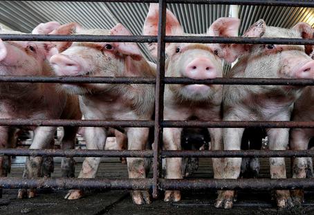 Jury Awards Hog Farm Neighbors Their Biggest Verdict Yet