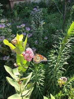 Milkweed and monarch