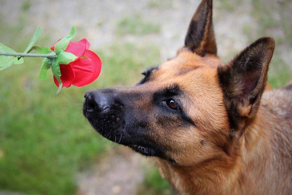 Dog sniffing rose