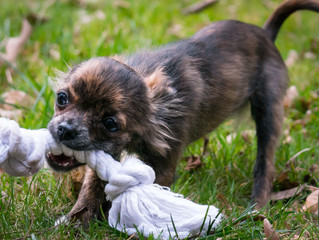 Dogs and Toys: Why Is My Pet Chewing on a Rope?