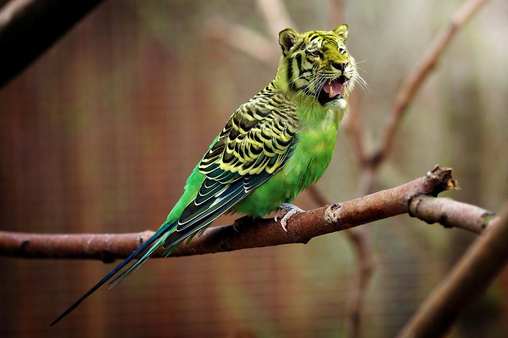 Parrot Tiger