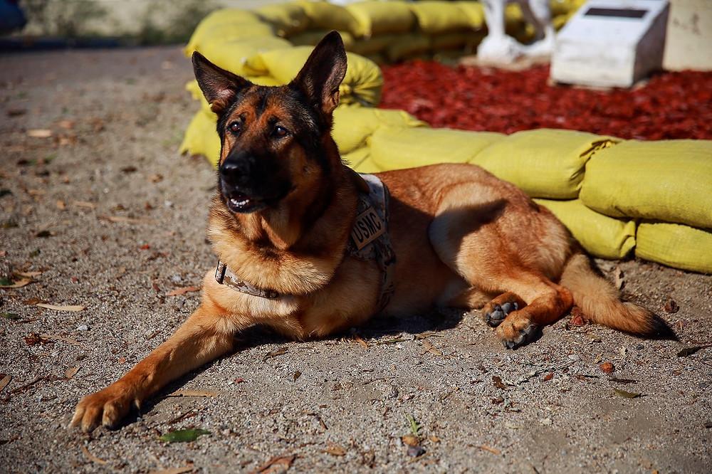 Luca War Dog