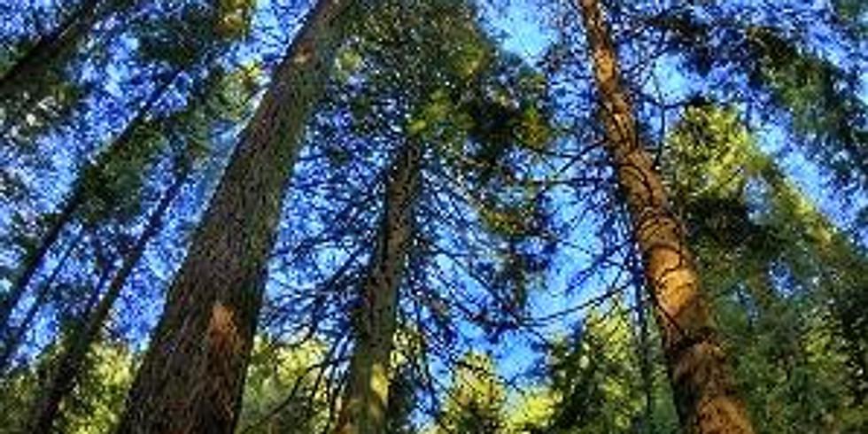 Secuoyas y abetos, caminada y baño de bosque