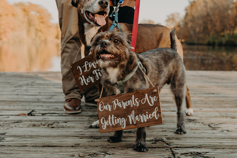 Dogs wearing wooden boards in an engagement session