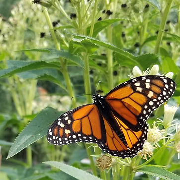 Moarch butterfly, symbol of hope and life
