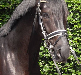 FEI European Imported horse for sale by excvlusive dressage imports