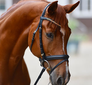 Dutch Warmblood Schoolmaster for Sale