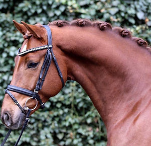 Dressage gelding imported by Exclusive Dressage Imports.  Super elastic mover with an incredible disposition.