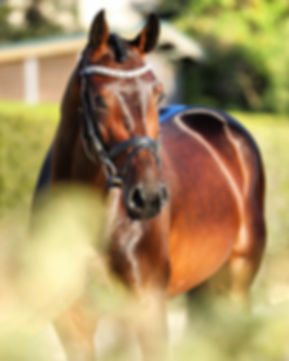 Imported Oldenburg Gelding for sale in San Diego California
